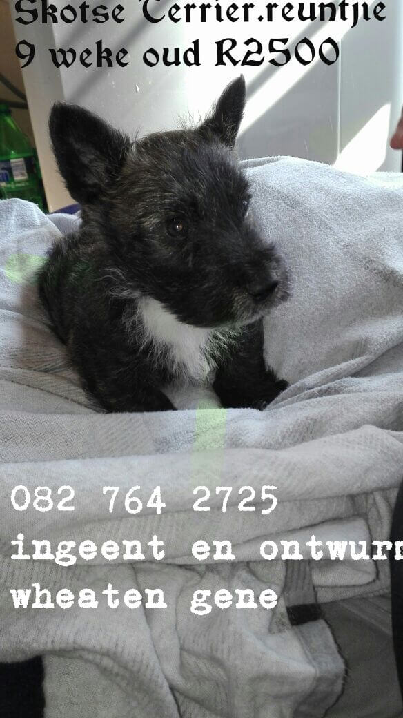Terrier Puppies for Sale in Bloemfontein by Chanel Naude