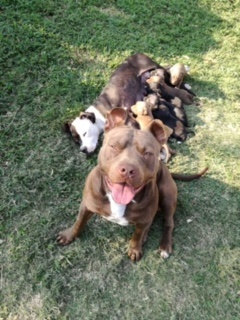Pitbull Puppies for Sale in Kwazulu Natal by Andre' Lennon Naidoo