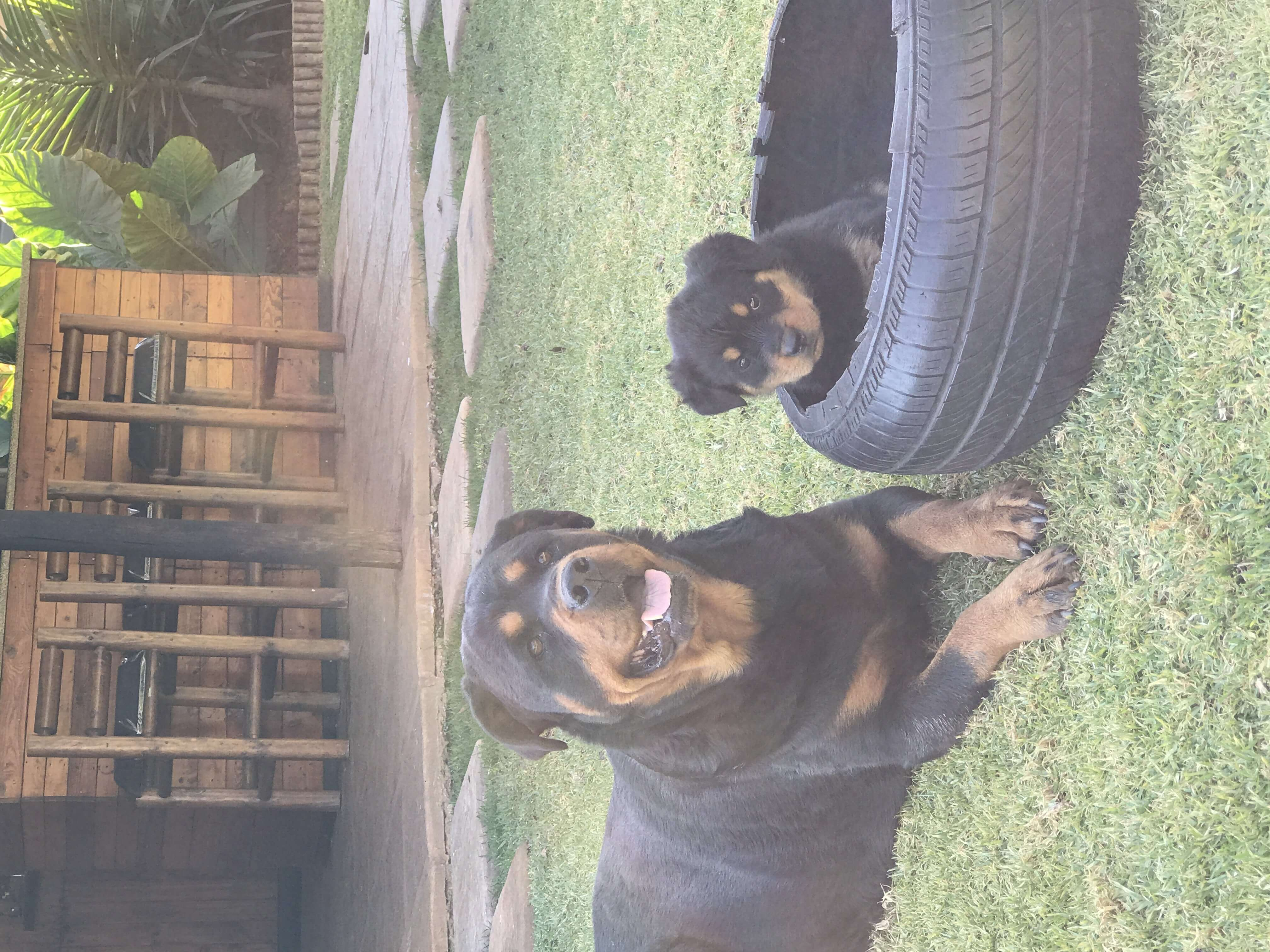 Rottweiler Puppies for Sale in Pretoria by Darrell May