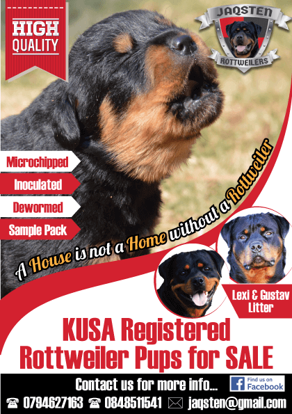 Rottweiler Puppies for Sale in Kwazulu Natal by Jaqsten Rottweilers