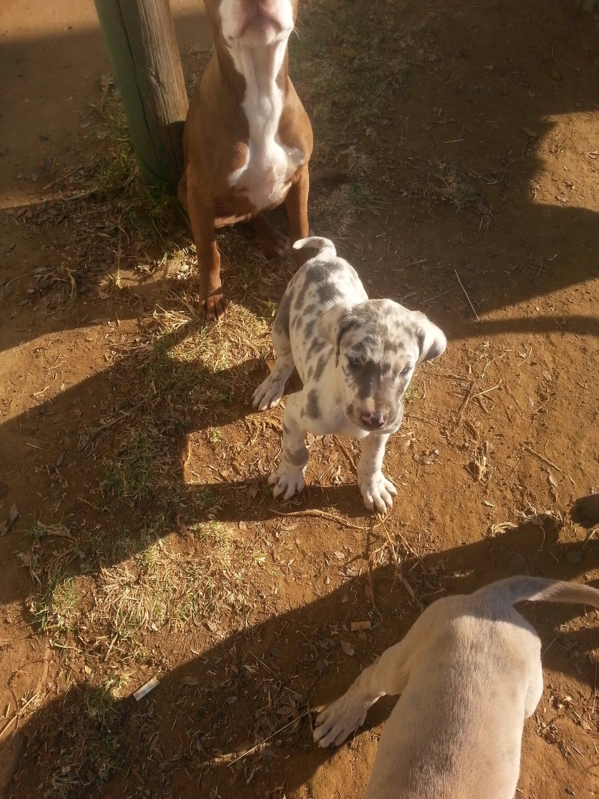 Great Dane Puppies for Sale in Kwazulu Natal by Deeza Riding Scool Steyn