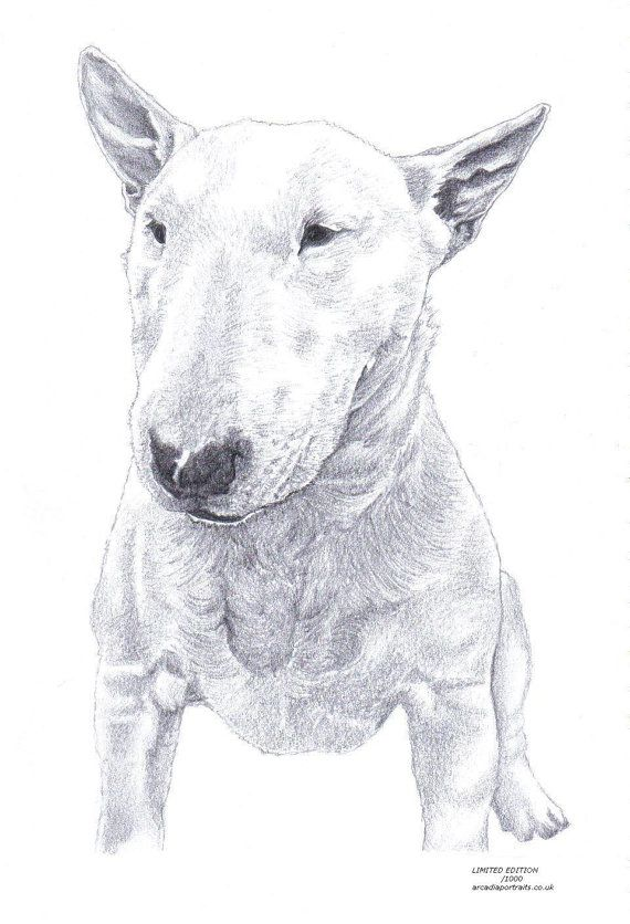 Bull Terrier Puppies for Sale in Johannesburg by Ashley Whitcombe