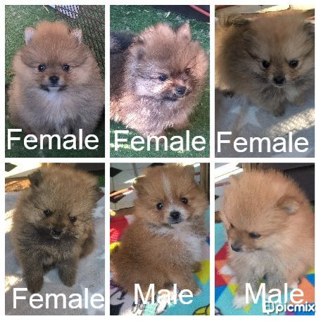 Toy Pom Puppies for Sale in Johannesburg by Lee-ann Sternberg