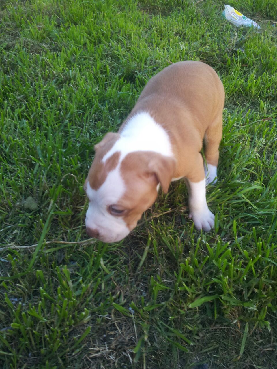 Pitbull Puppies for Sale in Cape Town by Anthony Dooley