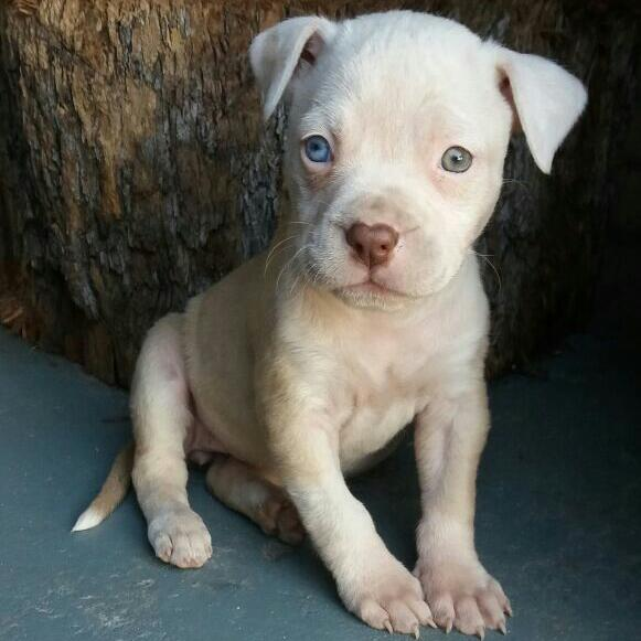 Pitbull Puppies for Sale in Cape Town by Leeno Stevens