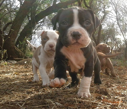 Pitbull Puppies in Rustenburg (15/10/2017)