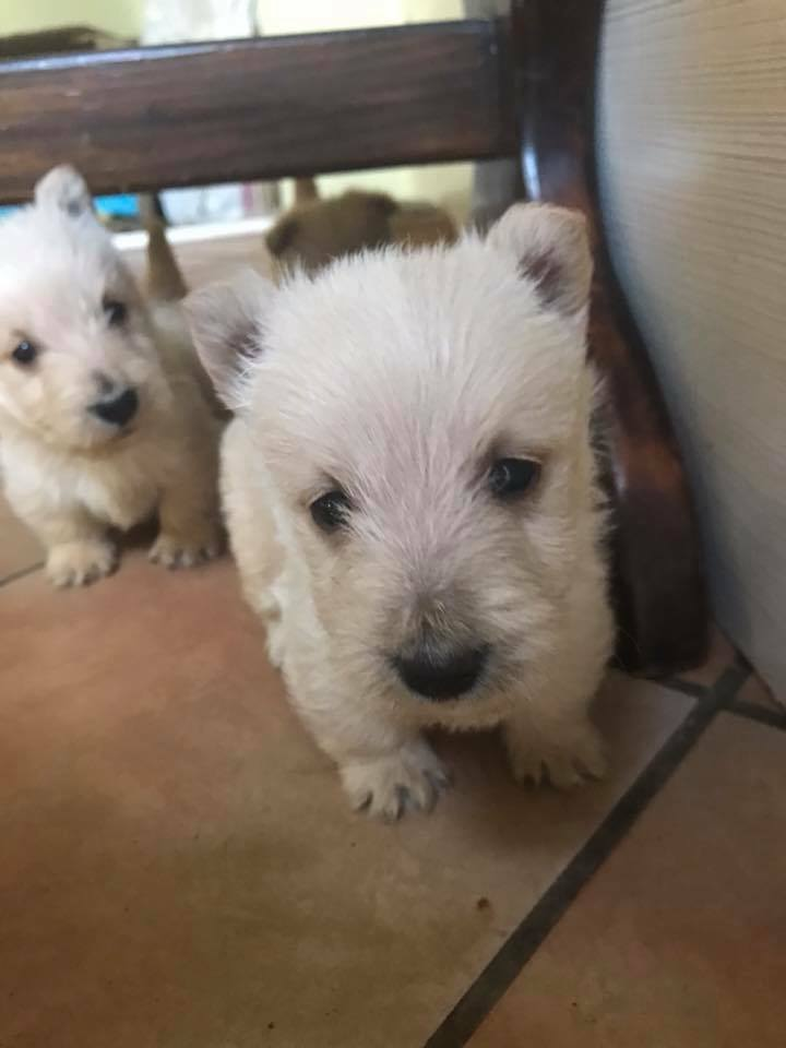Wheaten Terrier Puppies in Cape Town (05/11/2017)
