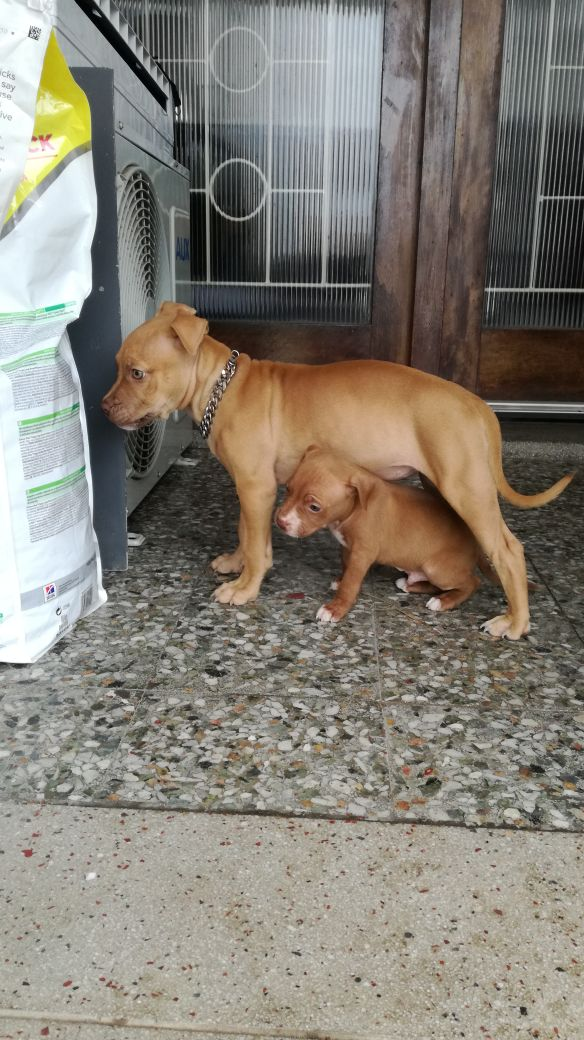 Pitbull Puppies in Kwazulu Natal (22/01/2018)