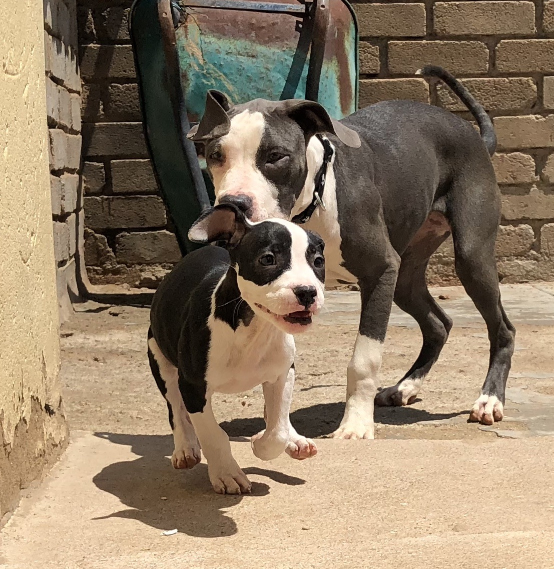 Pitbull Puppies in Pretoria (04/02/2018)