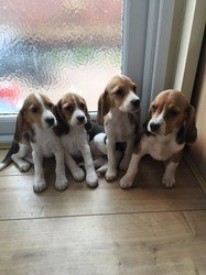 Beagle Puppies in Cape Town (07/02/2018)