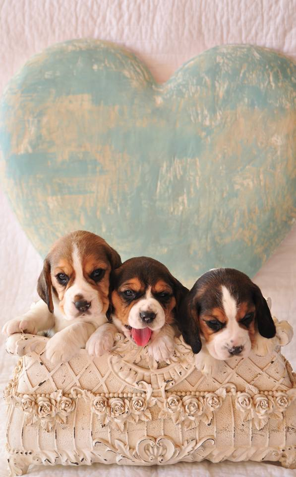 Beagle Puppies in Cape Town (23/04/2018)
