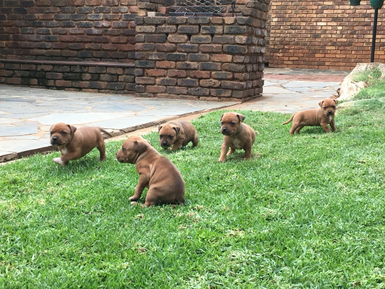 Staffie Puppies in Pretoria (11/04/2018)