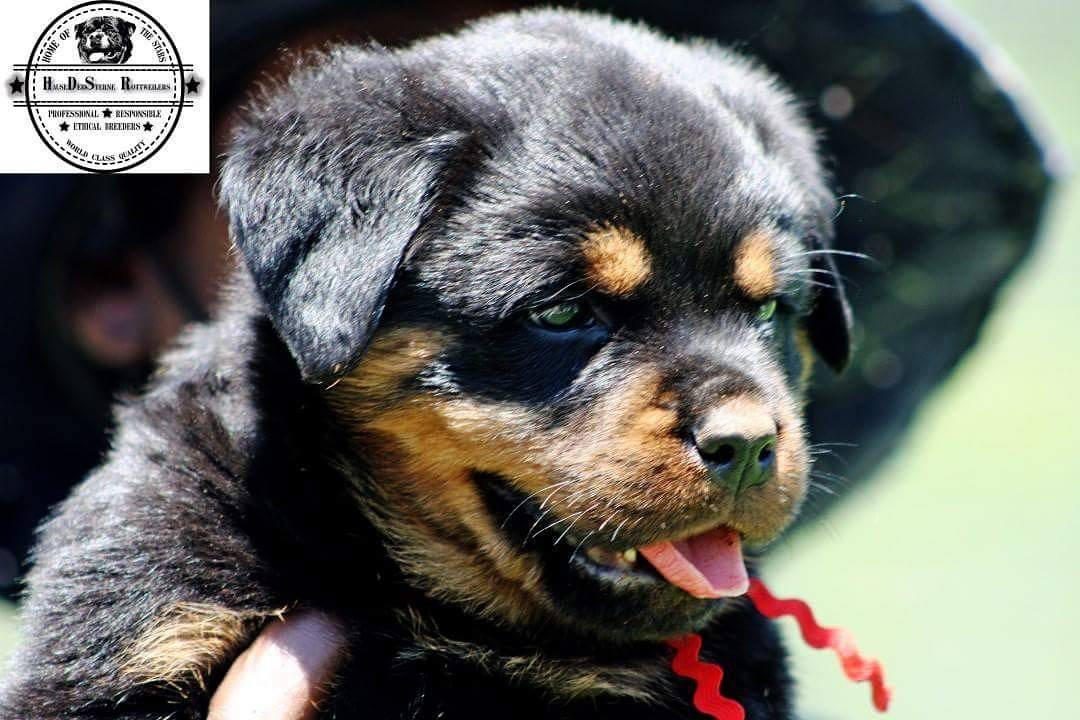 Rottweiler Puppies in Kwazulu Natal (10/04/2018)