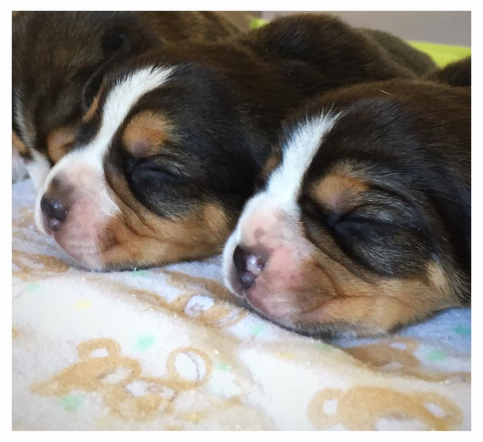 Beagle Puppies in Cape Town (09/05/2018)
