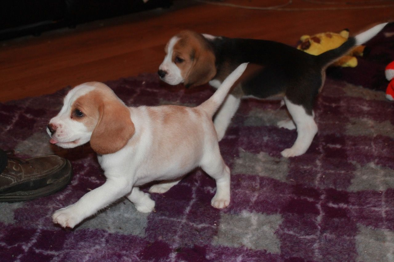Beagle Puppies in Cape Town (16/05/2018)