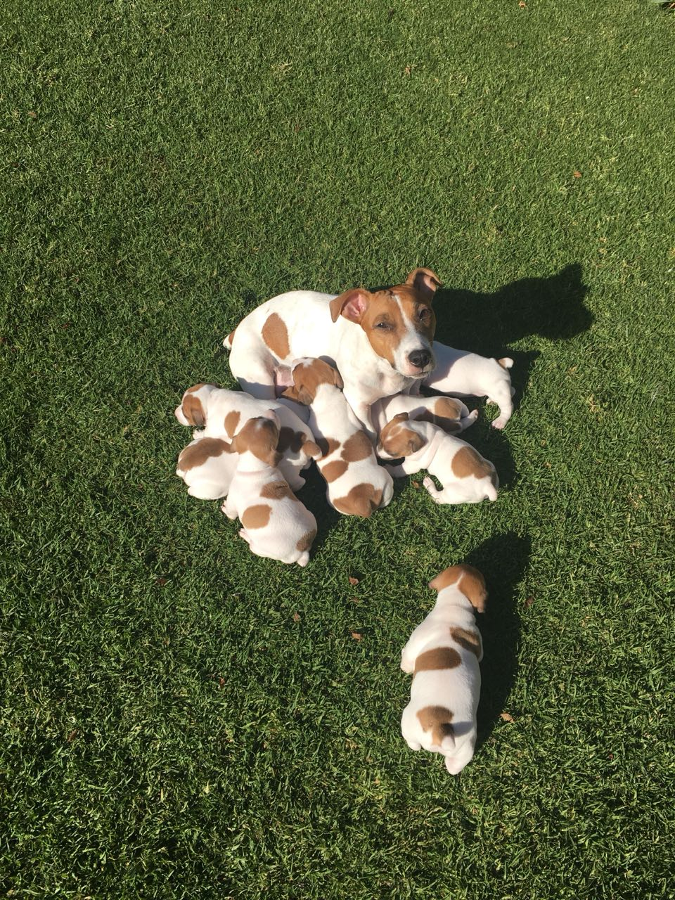 Jack Russell Puppies in Pretoria (07/06/2018)