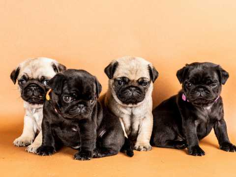 Pug Puppies in Cape Town (12/06/2018)