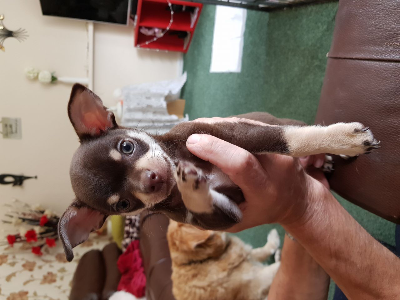 Chihuahua Puppies in Cape Town (30/07/2018)
