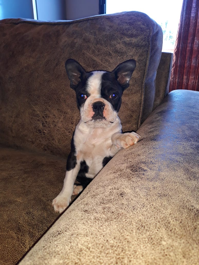 Boston Terrier Puppies in Cape Town (02/07/2018)