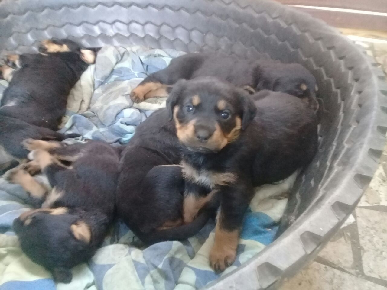 Rottweiler Puppies in Mpumalanga (21/08/2018)