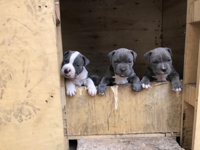 Pitbull Puppies in Johannesburg (03/10/2018)