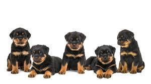 Rottweiler Puppies in Cape Town (13/10/2018)