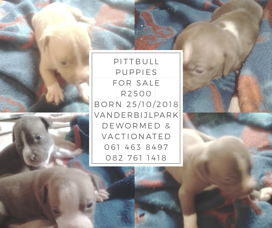 Pitbull Puppies in Other (16/11/2018)