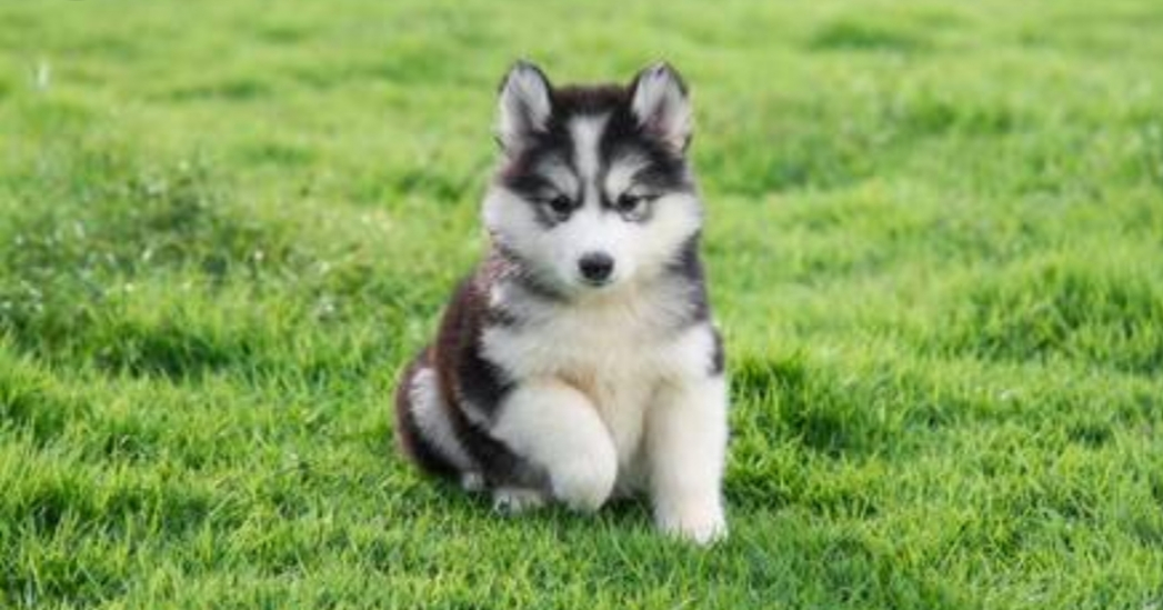Siberian Husky Puppies in Johannesburg (24/11/2018)