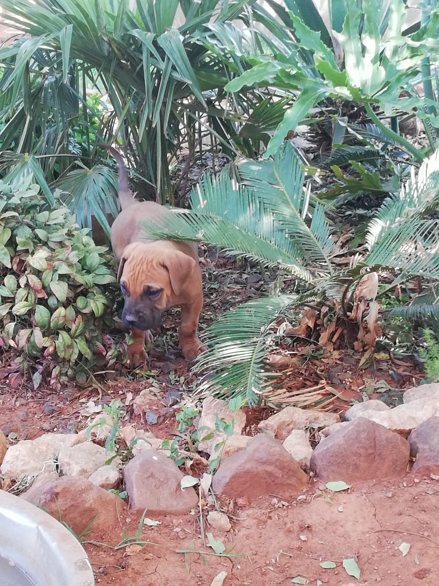Boerboel Puppies in Other (16/11/2018)