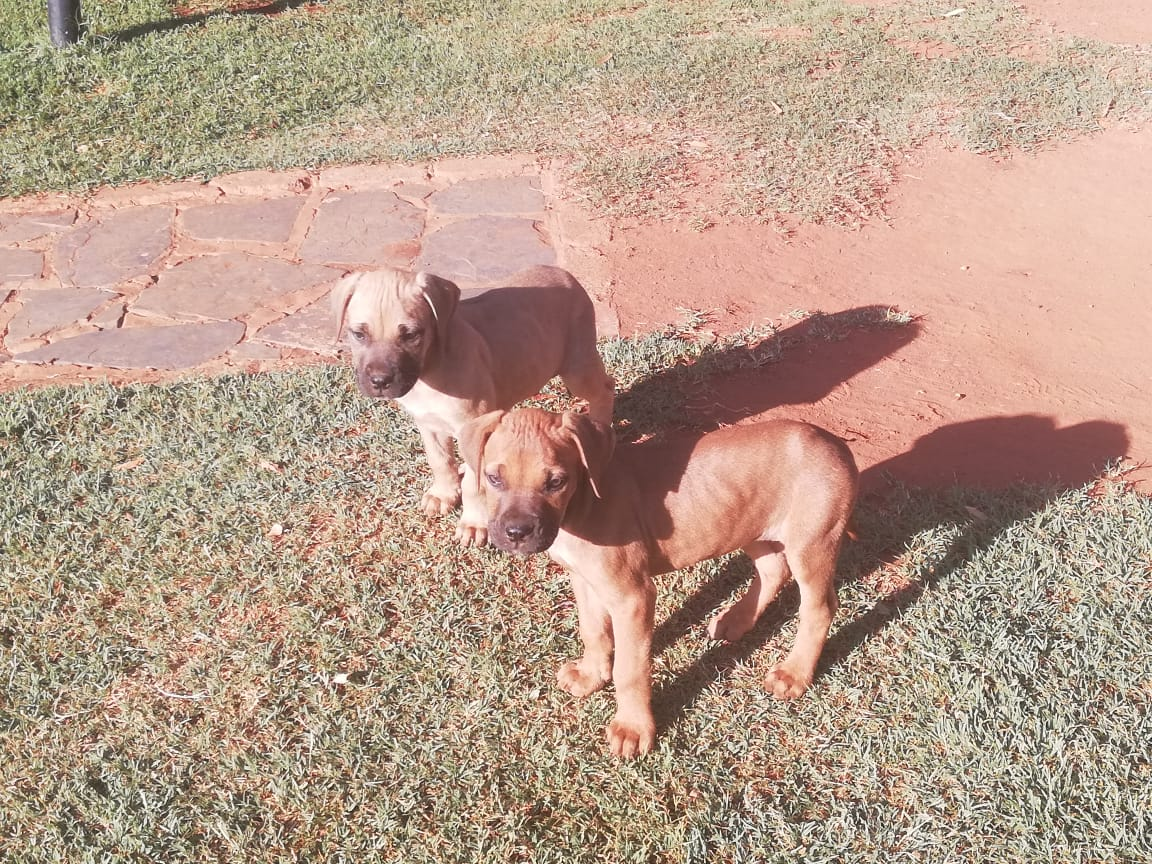 Boerboel Puppies in Pretoria (19/11/2018)