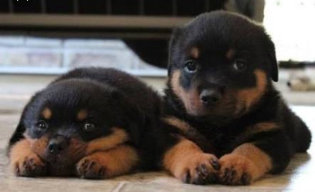 Rottweiler Puppies in Cape Town (01/11/2018)