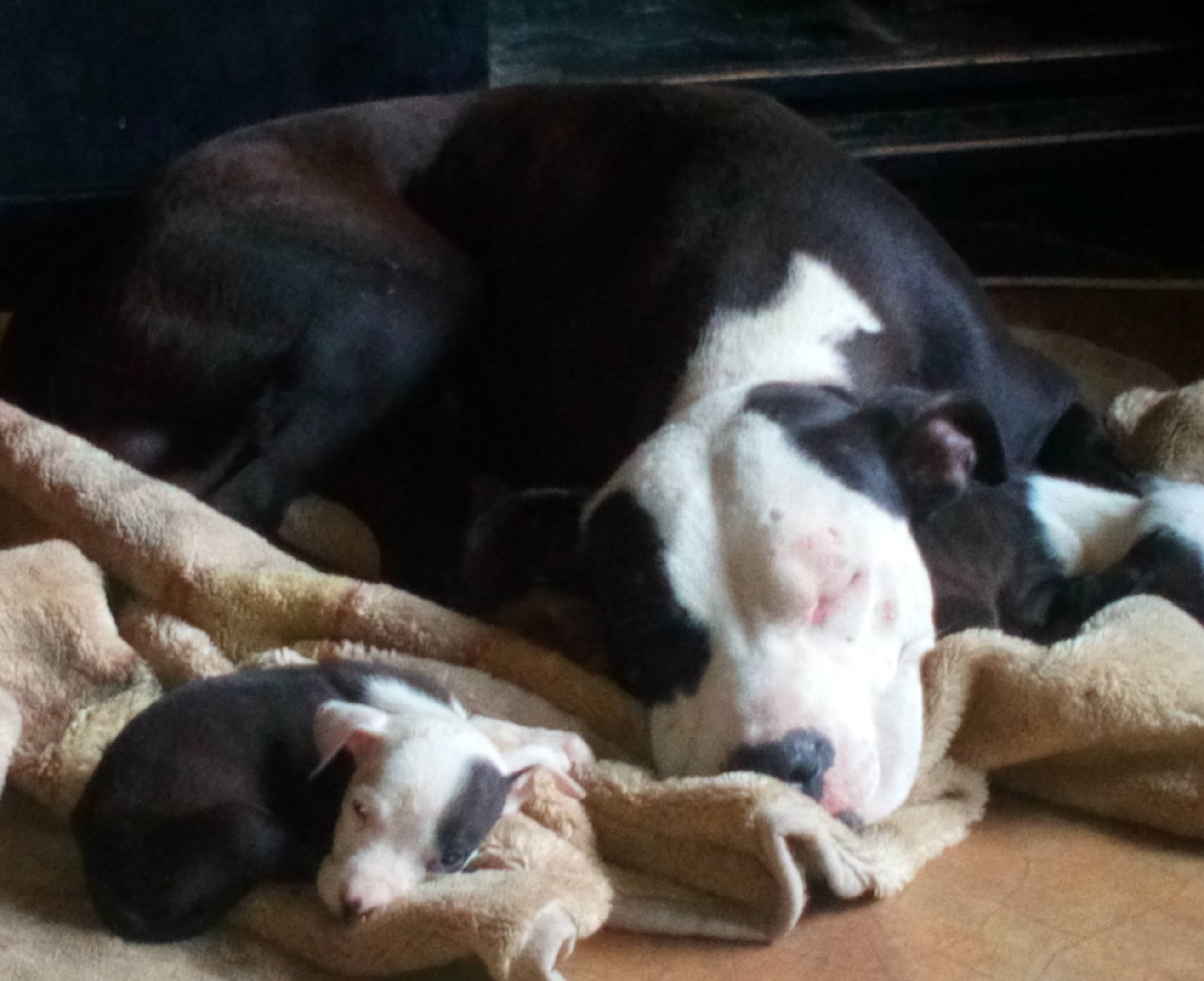 Pitbull Puppies in Pretoria (31/12/2018)