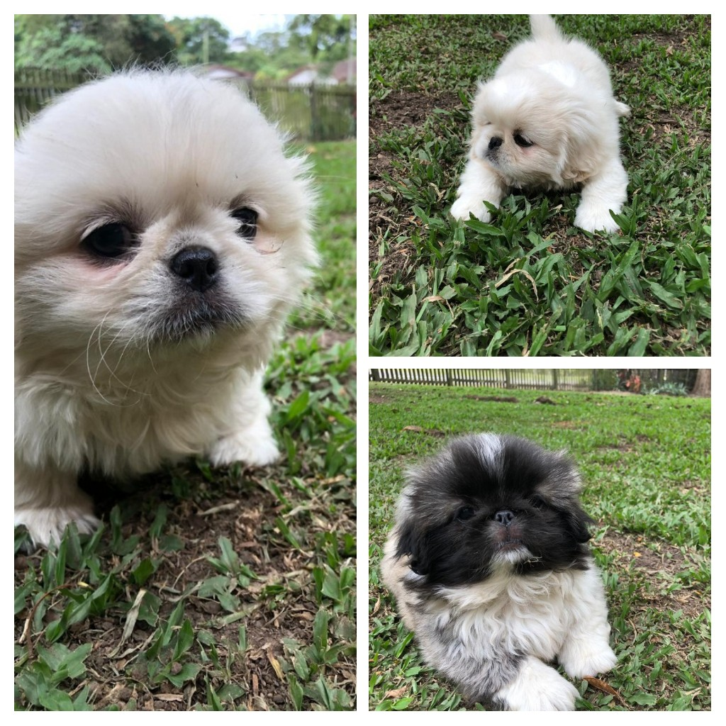 Pekingese Puppies in Kwazulu Natal (12/12/2018)