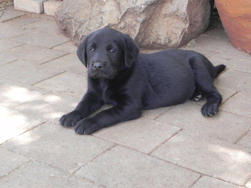 Labrador Puppies in Pretoria (01/12/2018)
