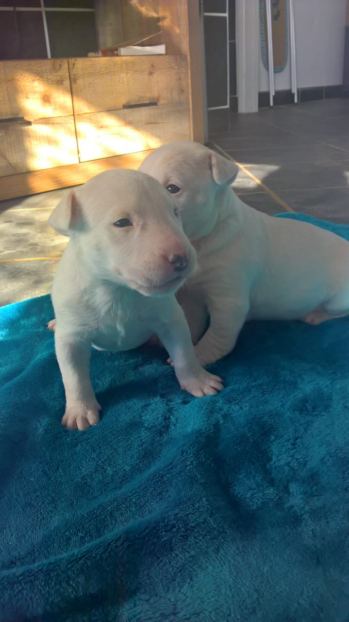 Bull Terrier Puppies in Boksburg (19/12/2018)