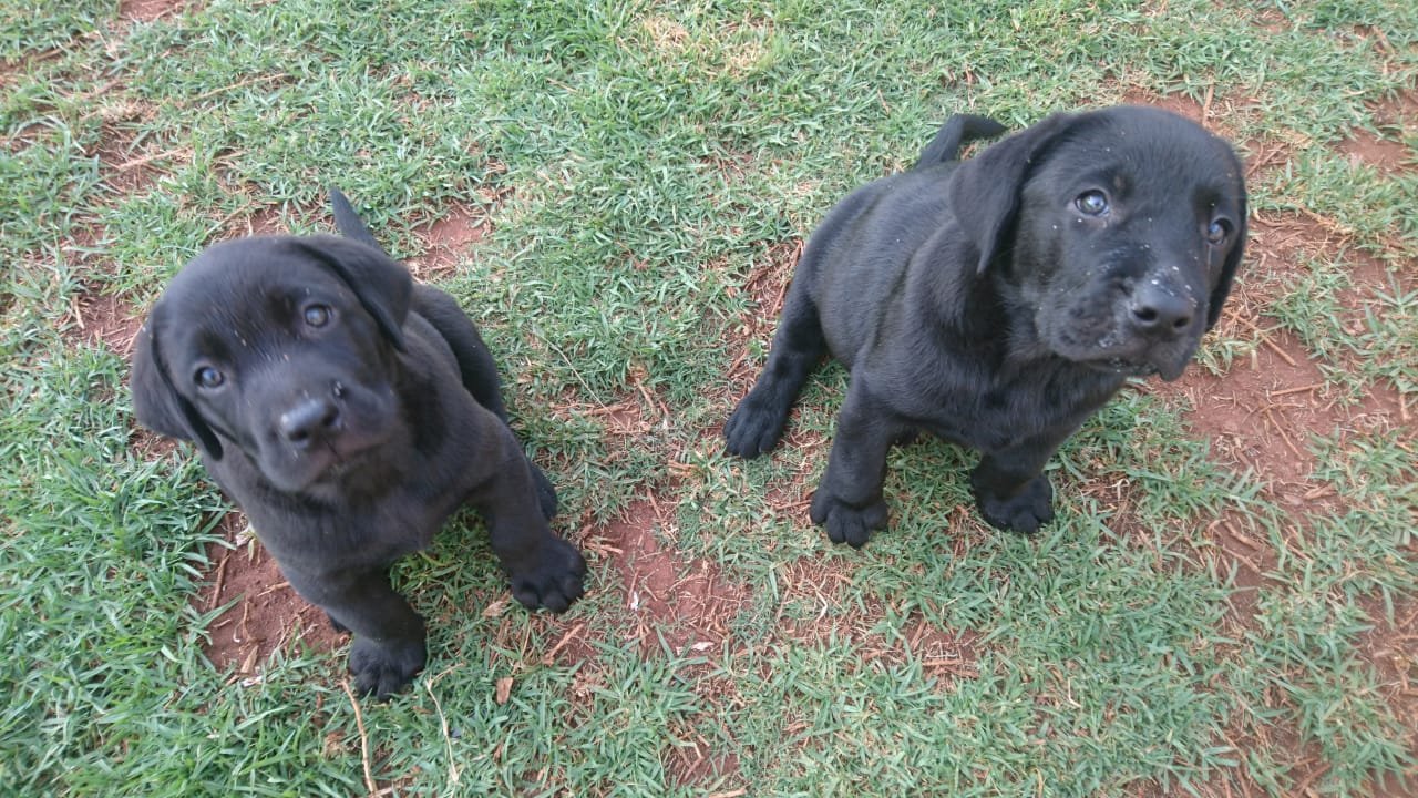 Labrador Puppies in Johannesburg (26/12/2018)