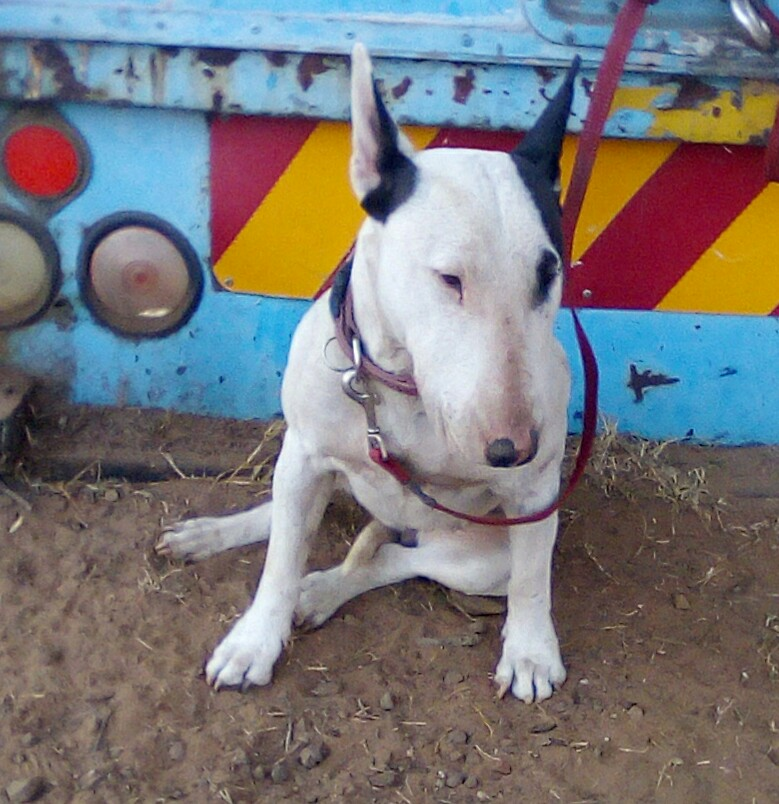 Bull Terrier Puppies in Pretoria (19/12/2018)