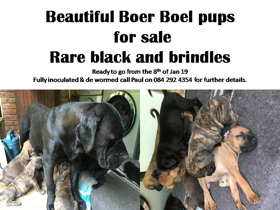 Boerboel Puppies in Kwazulu Natal (03/01/2019)