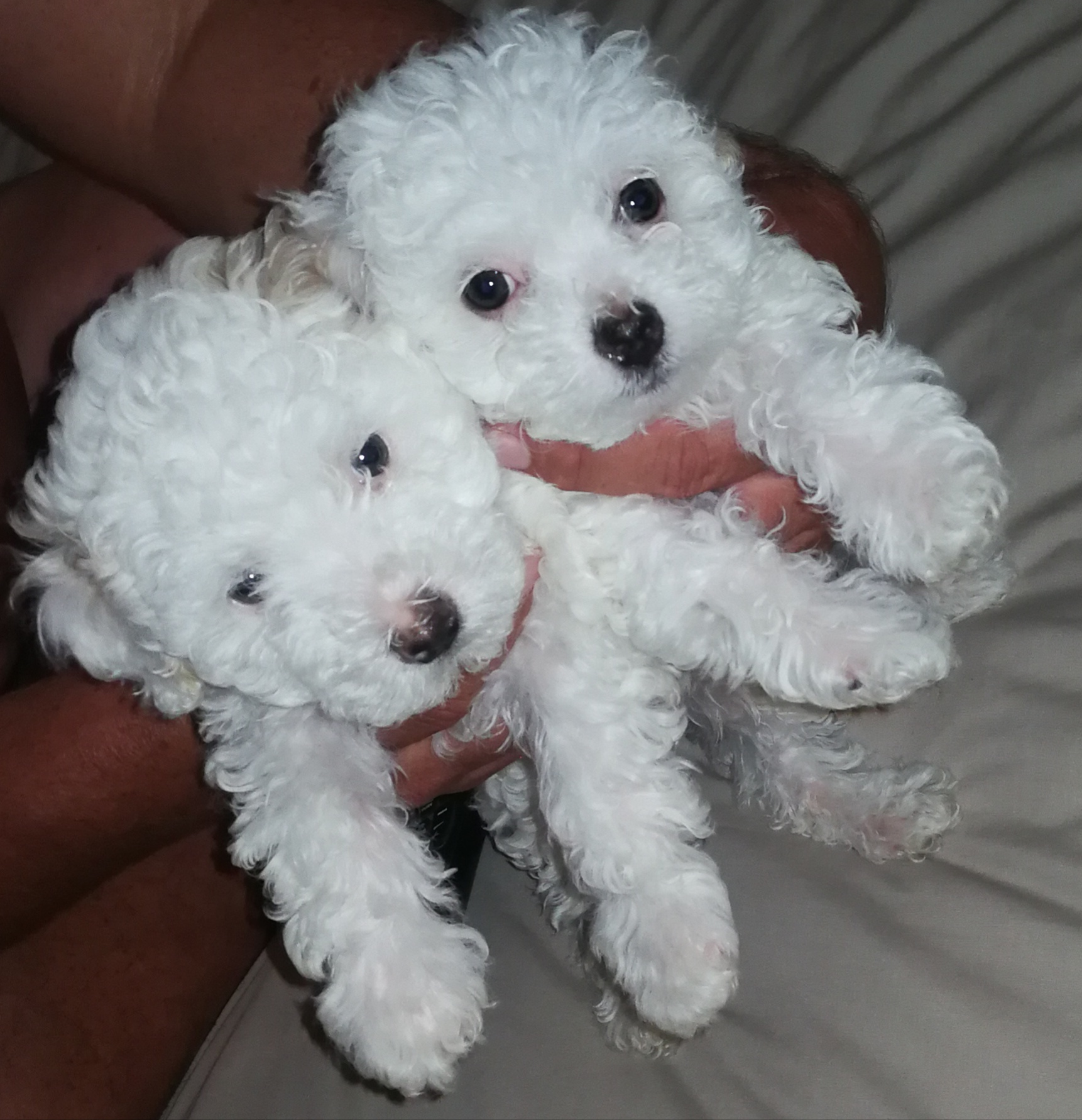 Poodle Puppies in Johannesburg (06/01/2019)