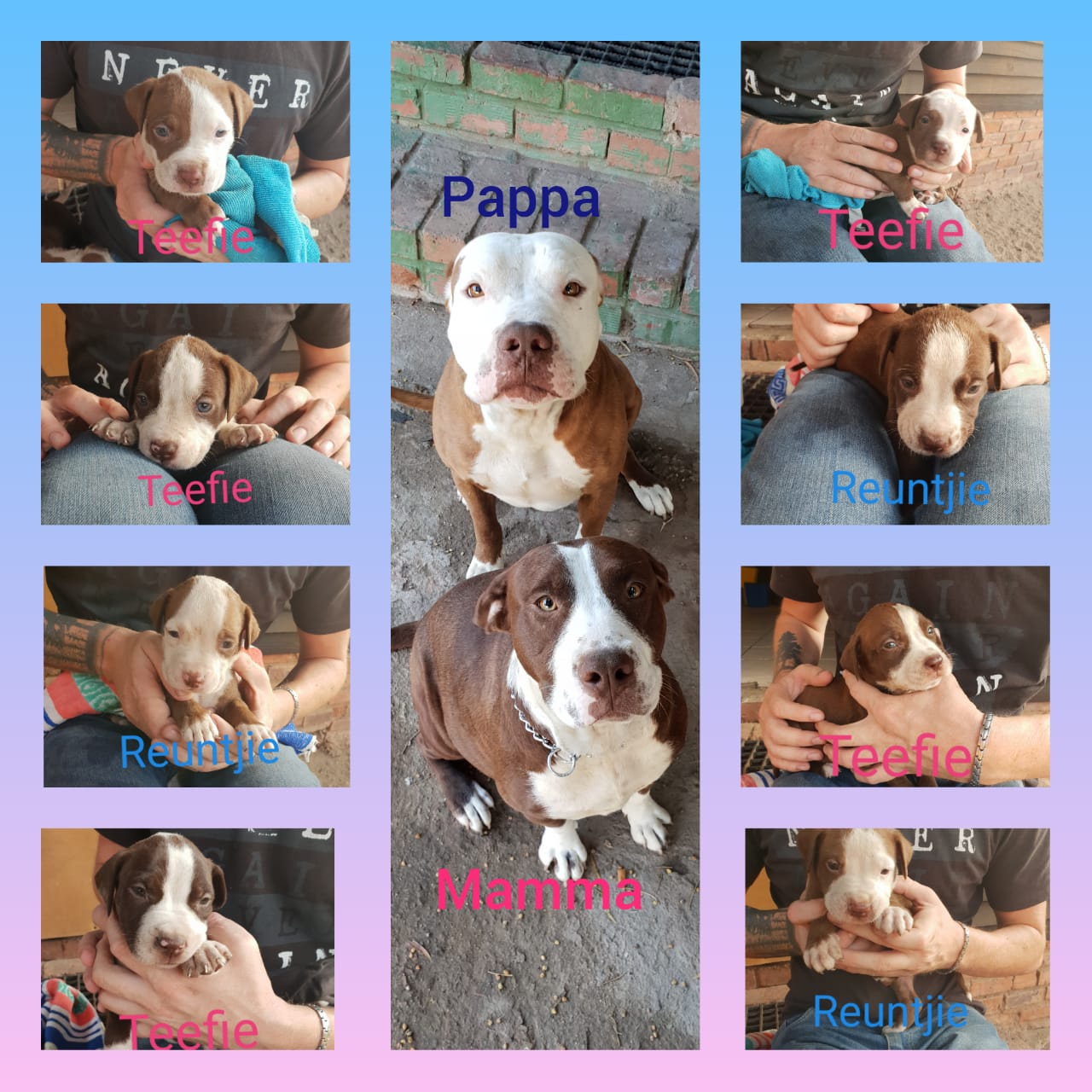 Pitbull Puppies in Pretoria (15/01/2019)