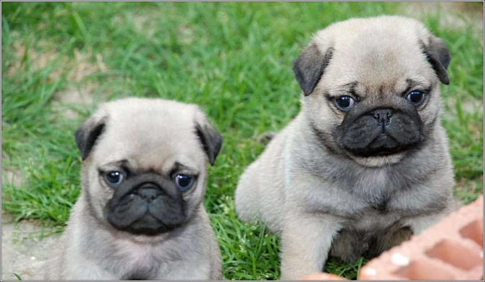 Pug Puppies in Johannesburg (30/01/2019)