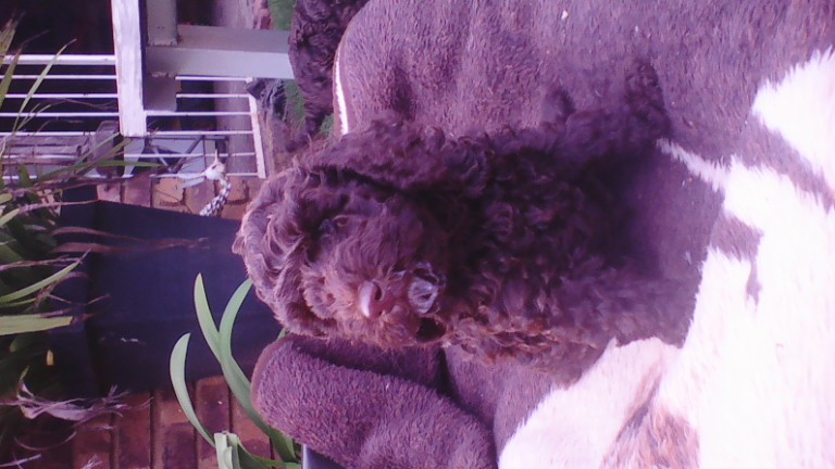 Poodle Puppies in Rayton (13/02/2019)