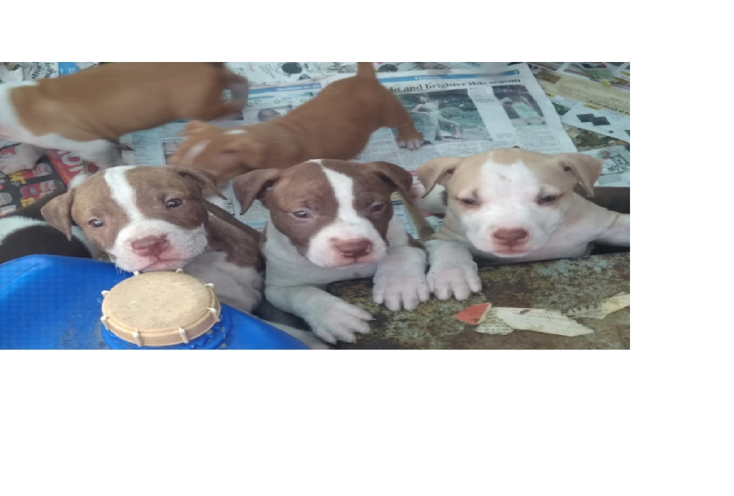 Pitbull Puppies in Cape Town (05/02/2019)