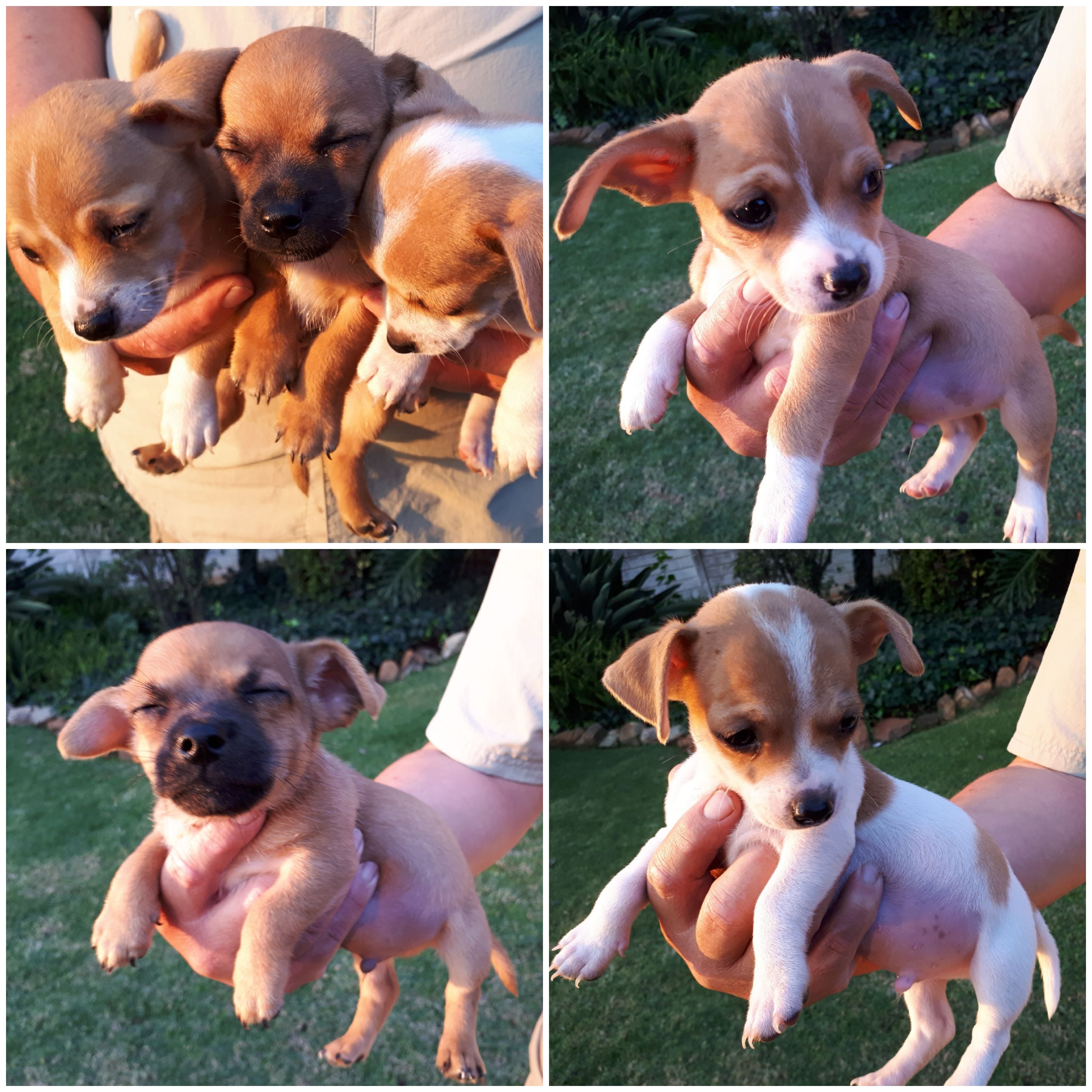 Jack Russell Puppies in Johannesburg (16/04/2019)
