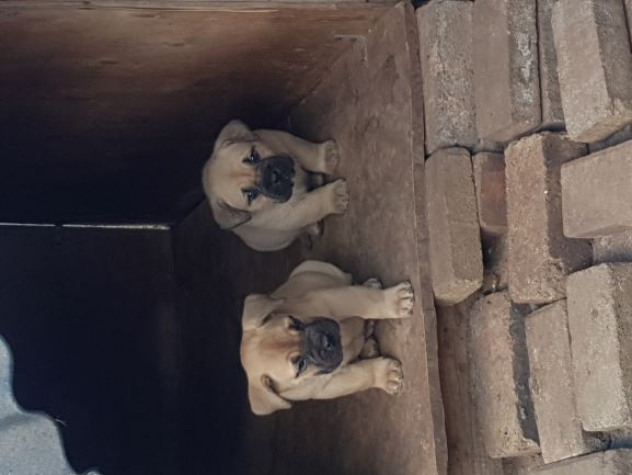 Boerboel Puppies in East Rand (08/07/2019)
