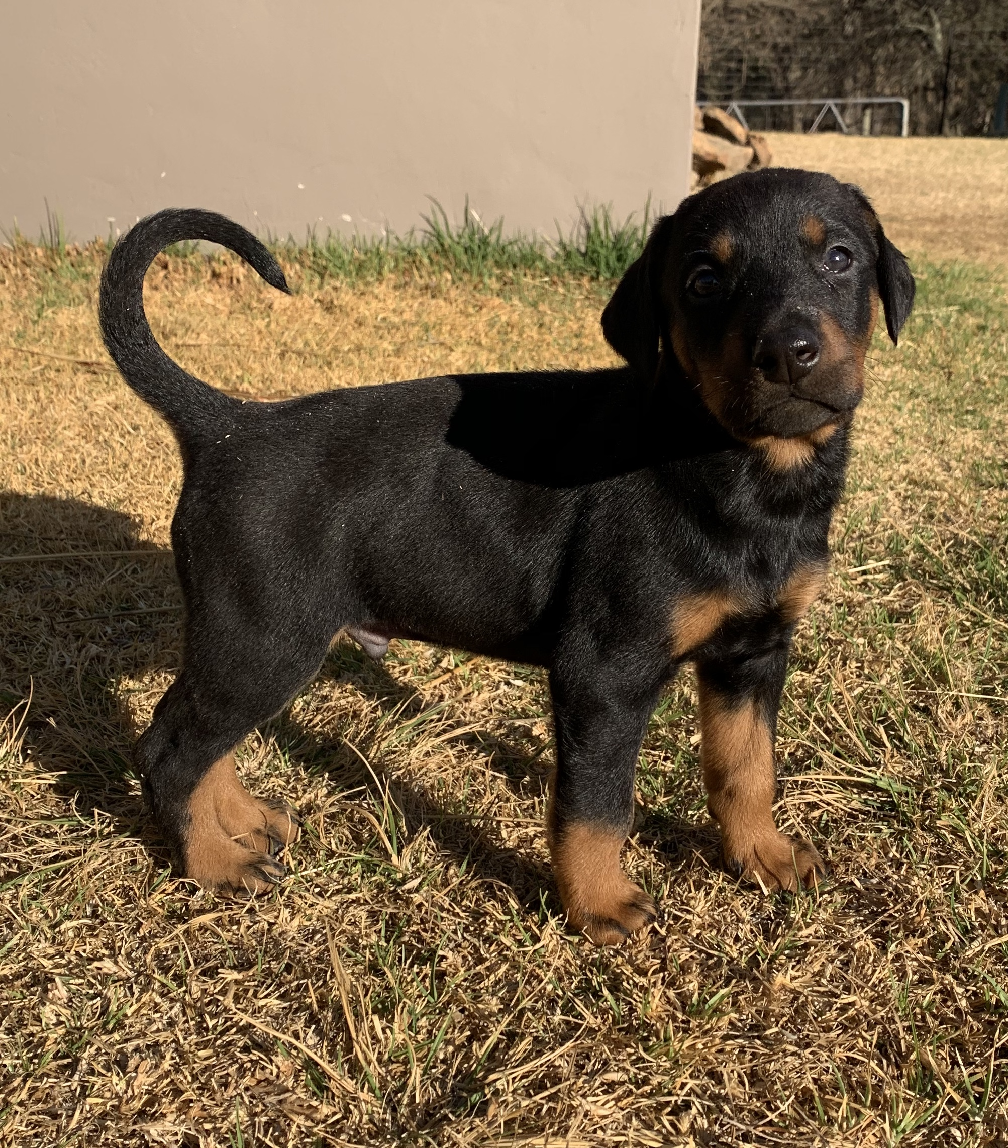 Doberman Puppies in Other (13/09/2019)