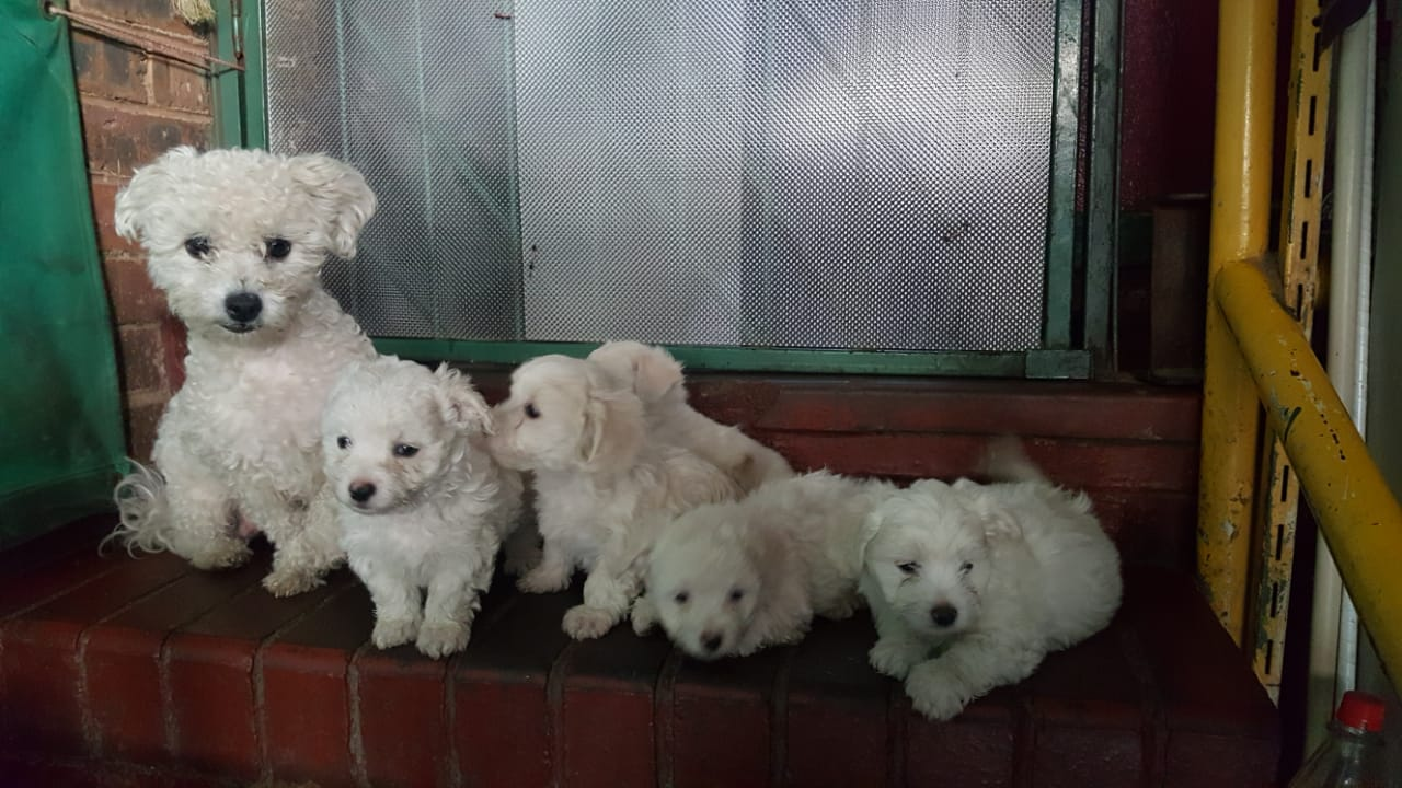 Poodle Puppies in Johannesburg (09/09/2019)