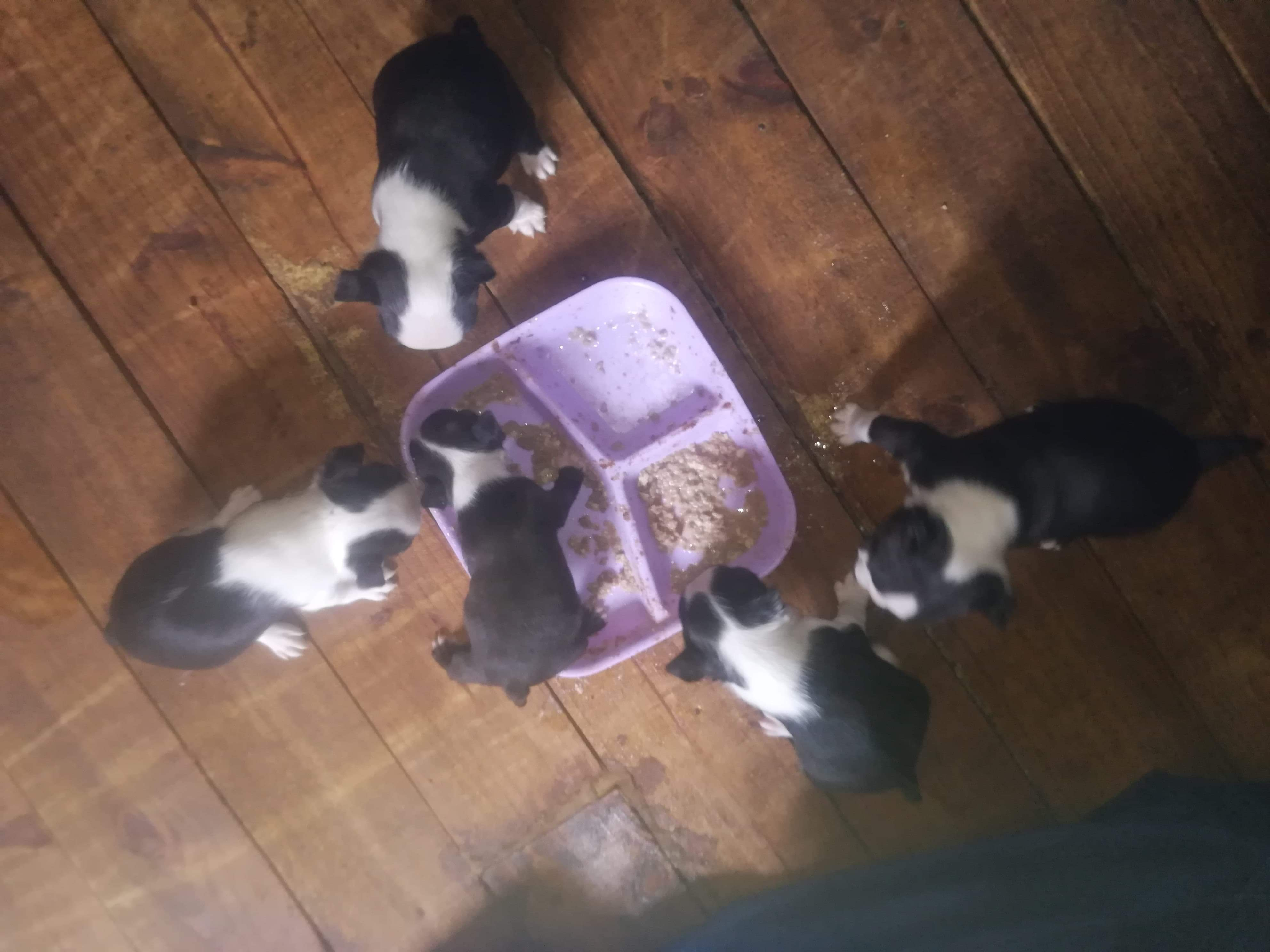 Boston Terrier Puppies in East Rand (21/10/2019)