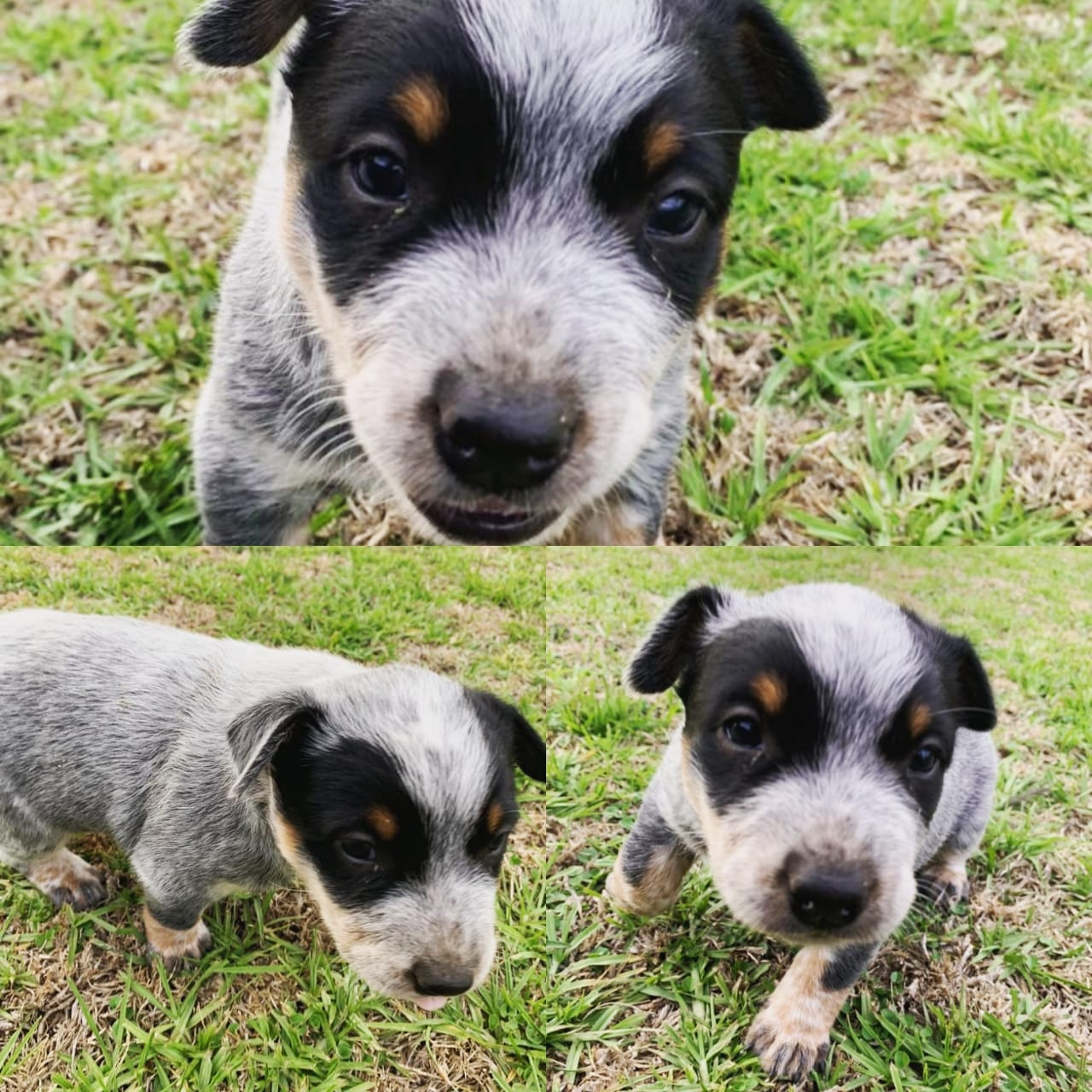 Other Puppies in Mpumalanga (26/11/2019)
