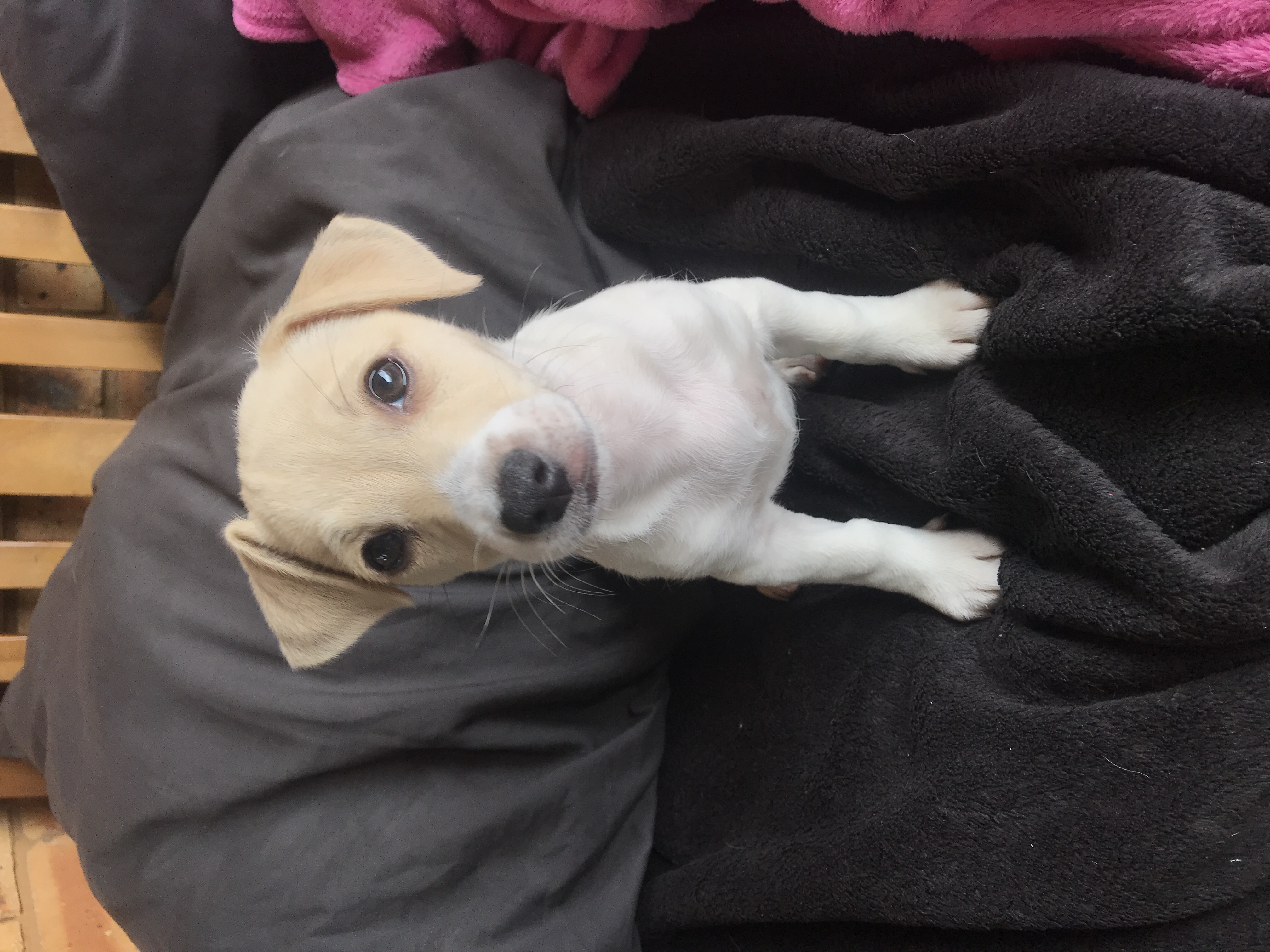 Jack Russell Puppies in East Rand (19/12/2019)